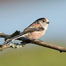 Long-tailed Tit by M S Photography/Art