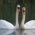Mute Swan Bonded Pair by Heather Pickard
