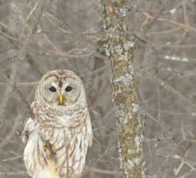 Winter Barred Owl Sticker