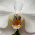 Orchid..Reverance, Humility, Innocence by jewd barclay