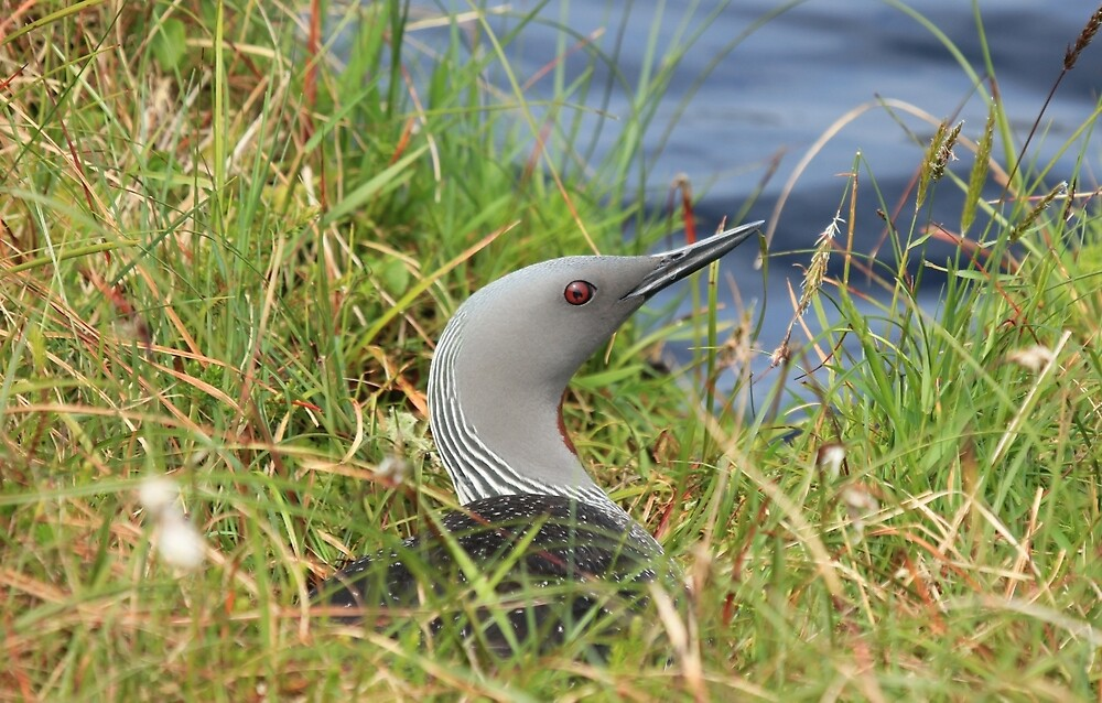 Red-throated Diver by Sandy Sutherland