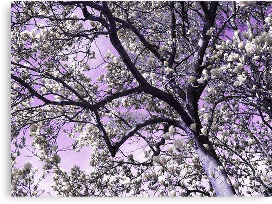 Silver Magnolias by Shawna Rowe