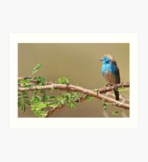 Blue Waxbill - Colorful Wild Birds from Africa - Beautiful Bliss Art Print