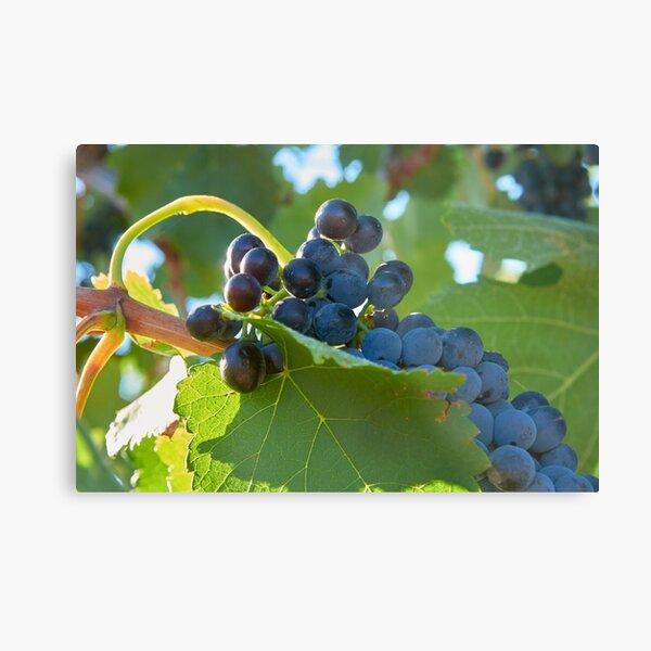 Australian shiraz grapes ripe for picking Metal Print