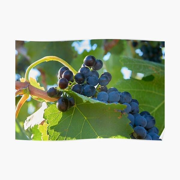 Australian shiraz grapes ripe for picking Poster