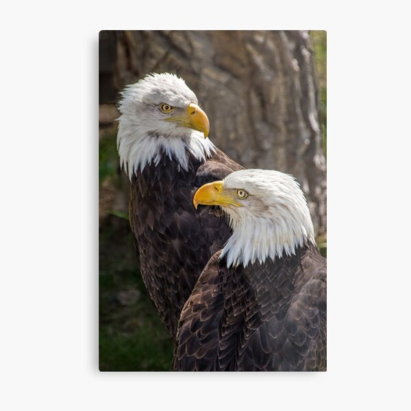 Two Eagles Metal Print