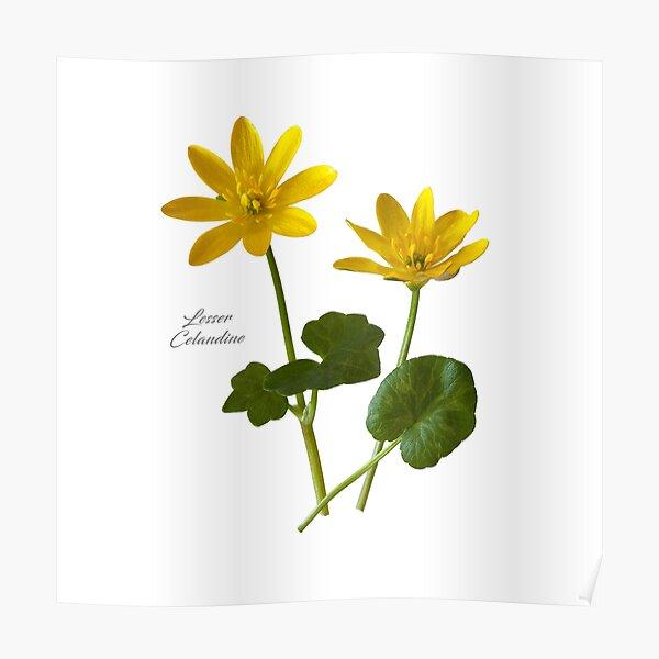 Lesser Celandine Poster