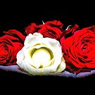 Painted Red and White Roses by Avril Harris