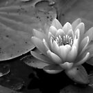 Black and White Waterlily by Colleen Drew