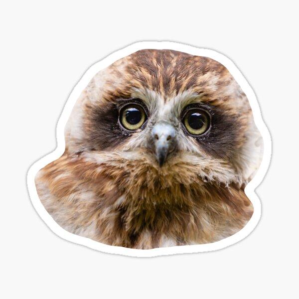Bilbo the Boobook owl Sticker