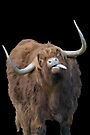 Highland Cattle sticking it's tongue out! by Sara Sadler