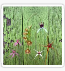 Cerise Spider Orchid on Green Painted Wall, native orchids of Western Australia. Sticker