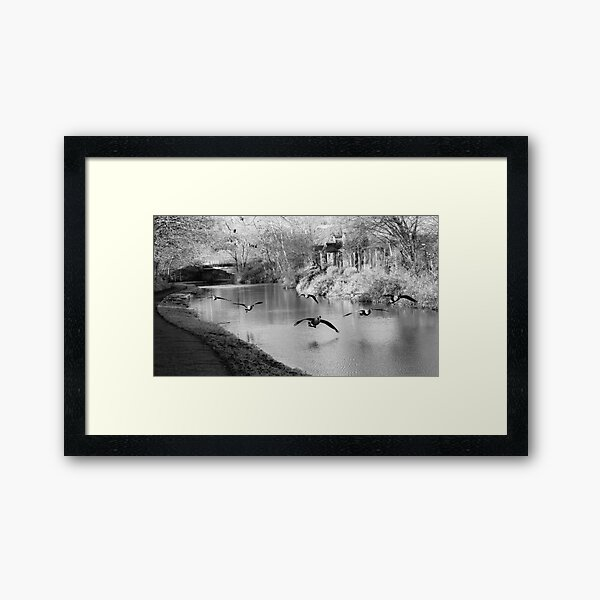 Canadian Geese landing on the canal Framed Art Print