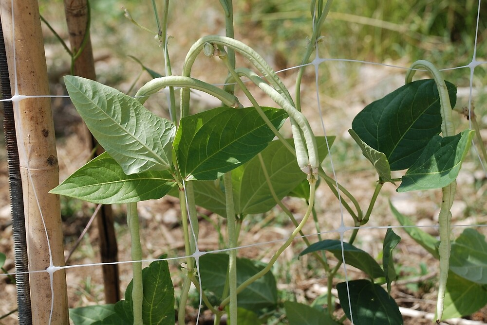 Yardlong Beans on Vine by jojobob