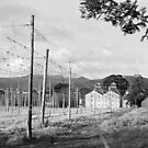 Hops Fields, Tasmania by BRogers