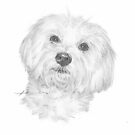 havanese dog pencil portrait by Mike Theuer