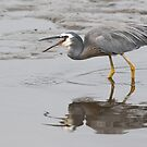 White Faced Heron #2 by Chris Cobern