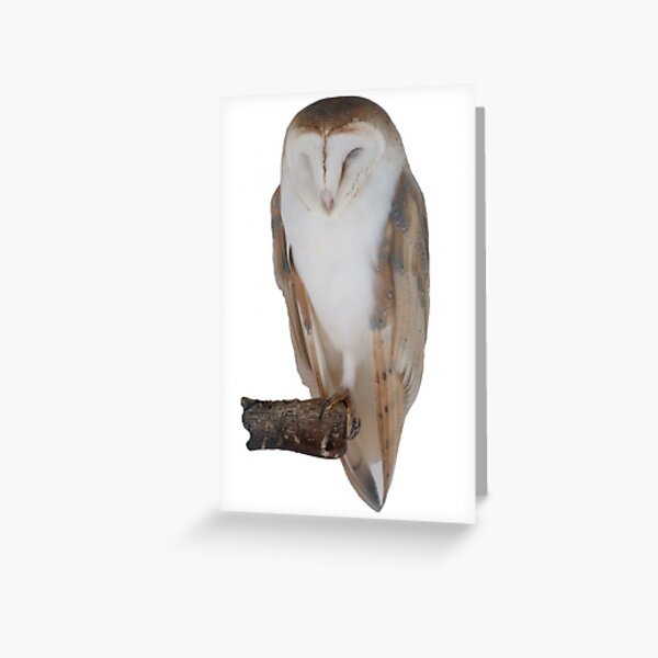 White owl at rest Greeting Card