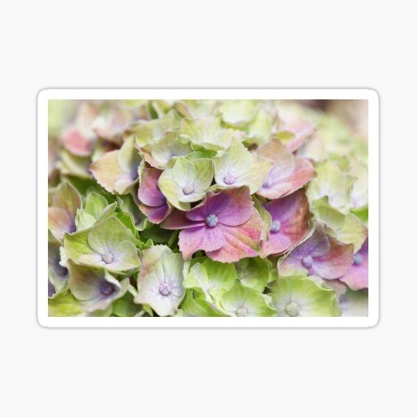Hortensien Traum - Hydrangea Dream Sticker