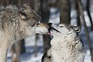 Timber Wolves in love by Jim Cumming