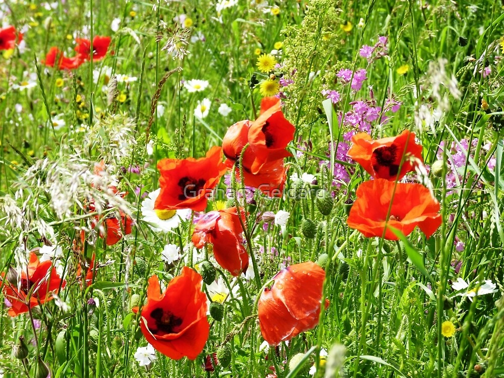 Poppy Meadow by Graham Geldard