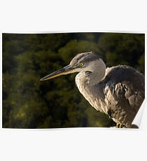 Focused Hunter - a Great Blue Heron Watching for Fish Poster