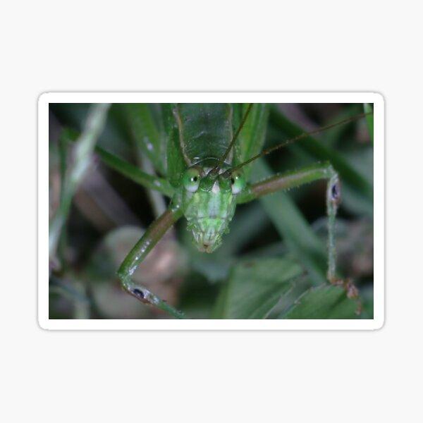 Fork-tailed Bush Katydid (Scudderia furcata) Sticker