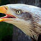 Alaskan Bald Eagle by naturelover