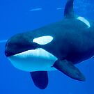 Killer whale by Dave Riganelli