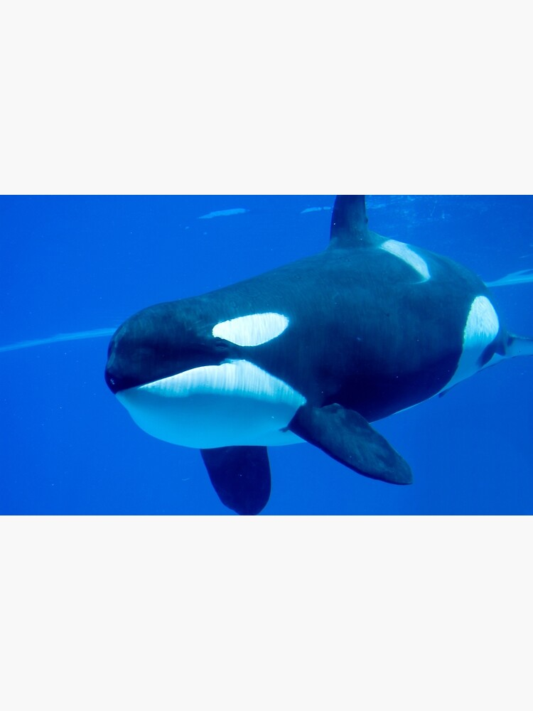 Killer whale by daveriganelli
