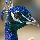 Peacock portairt by Dave Riganelli