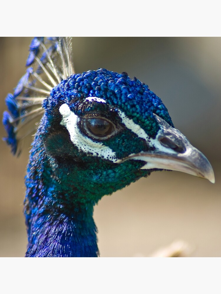 Peacock portairt by daveriganelli