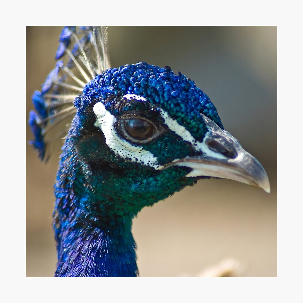 Peacock portairt Photographic Print