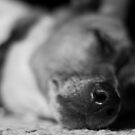 Sleeping Jack Russell  by Dave Riganelli