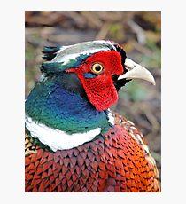 Pheasant. Photographic Print