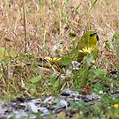 Grass Parrot feeding on grass seeds by Leonie Mac Lean