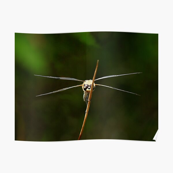 Frontal view of a flat-bellied dragonfly Poster