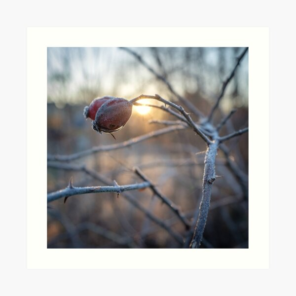 frosty rosehip on a branch Art Print