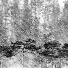 21.2.2016: Pine Trees in Sleet by Petri Volanen