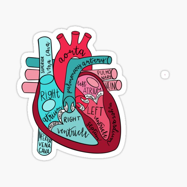 Labeled Anatomical Heart  Sticker