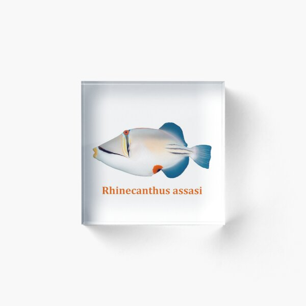 Rhinecanthus assasi - Red Sea Picasso triggerfish Acrylic Block