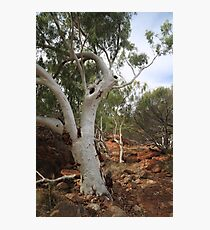 Old Gum Tree Photographic Print
