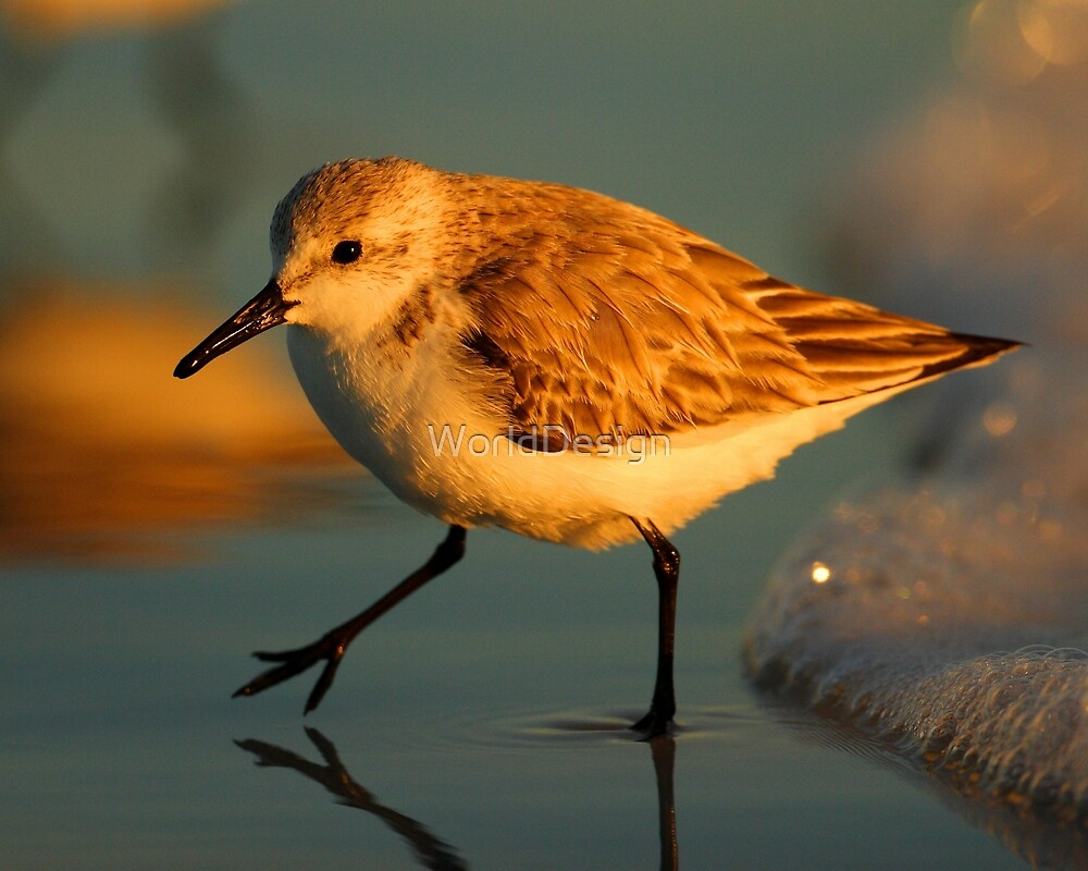 Sandpiper Walking at Sunset by WorldDesign