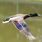 Duck in flight by Dave Riganelli