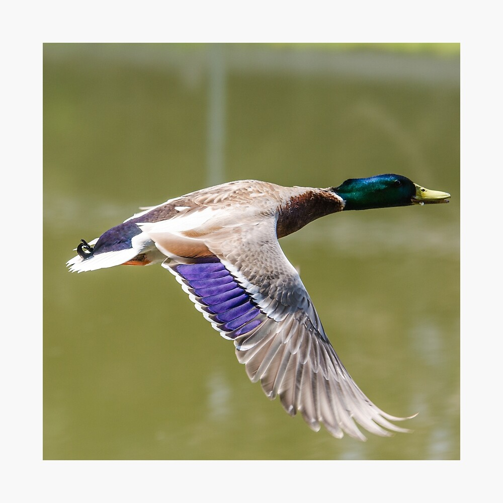 Duck in flight Photographic Print