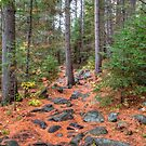 Rocky path through the pine forest by Dave Riganelli