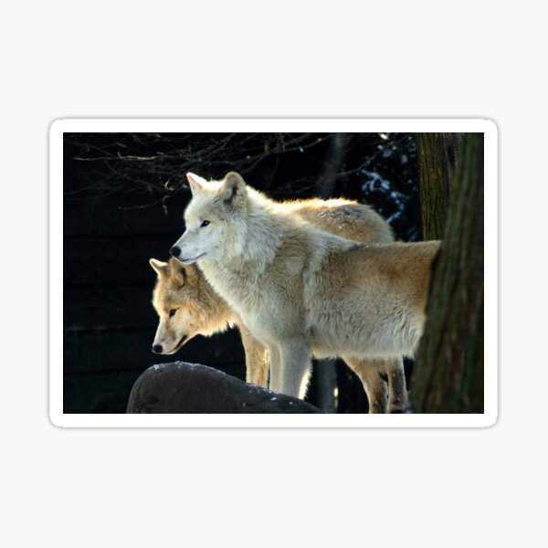 Two young wolves  Sticker