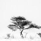 22.2.2016: Pine Tree in Winter's Fog by Petri Volanen