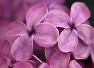Wistful Scent of Lilac by coffeebean