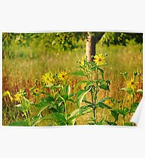 Golden Yellow Ray Florets Poster